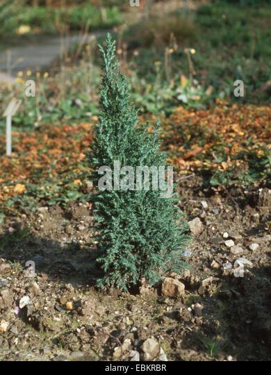 Lawson cypress, Port Orford cedar (Chamaecyparis lawsoniana 'Ellwoodii', Chamaecyparis lawsoniana Ellwoodii), - Stock Image