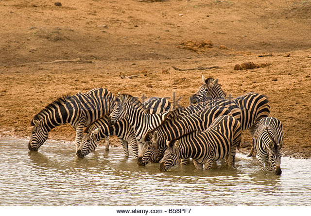 A herd of zebra drinking at a watering hole Kruger National Park South Africa - Stock Image