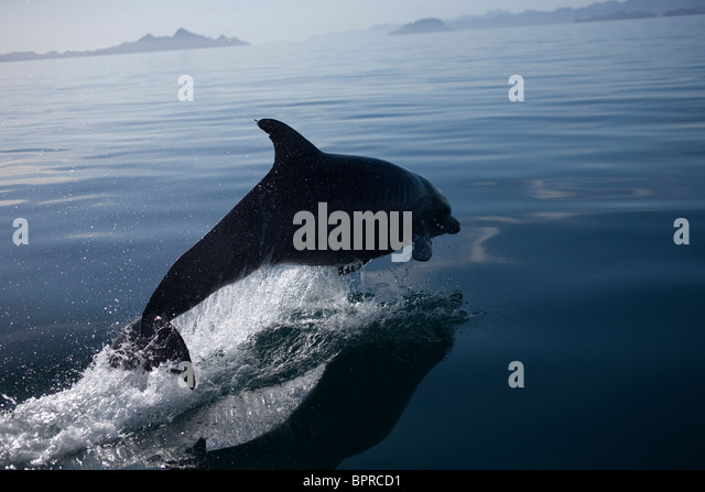 A dolphin jumps in the bay near the town of Loreto in Mexico's southern Baja California state - Stock Image
