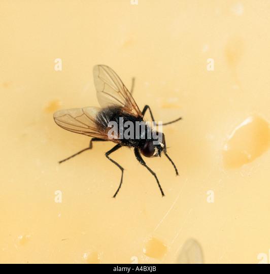 House fly or housefly Musca domestica on cheese - Stock Image
