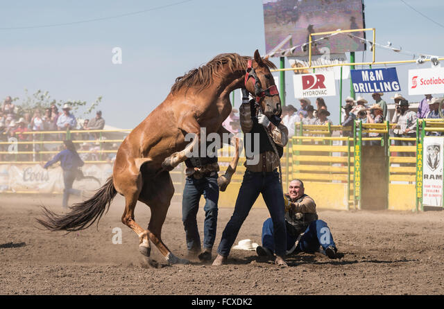 Wild horse round-up, Strathmore Heritage Days, Strathmore Rodeo, Strathmore Alberta, Canada - Stock Image