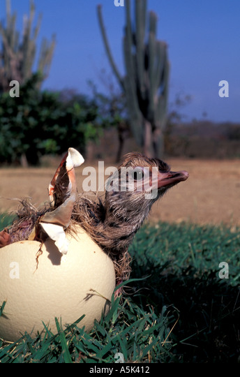 Curacao Ostrich Farm close-up of ostrich chick emerging from egg - Stock Image