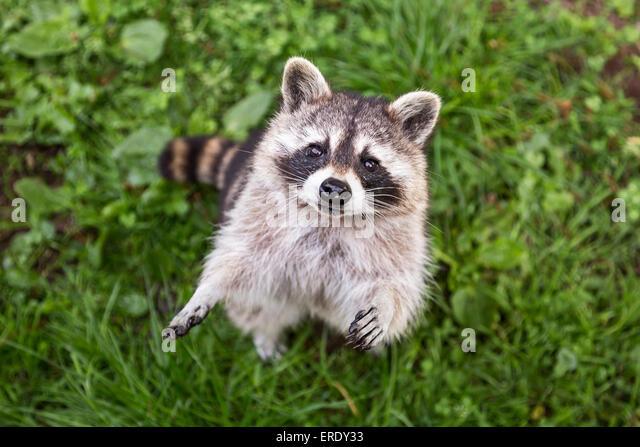 Raccoon (Procyon lotor), captive, Saarland, Germany - Stock Image
