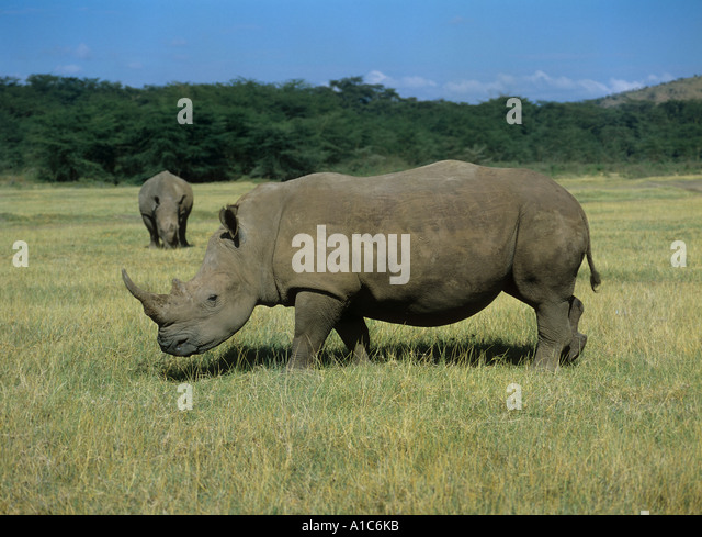 two square lipped rhinoceroses on meadow Ceratotherium simum - Stock Image