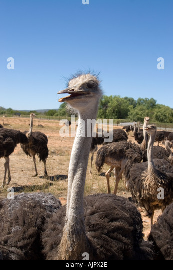 south africa Karoo Western cape Oudtshorn ostrich farm - Stock Image