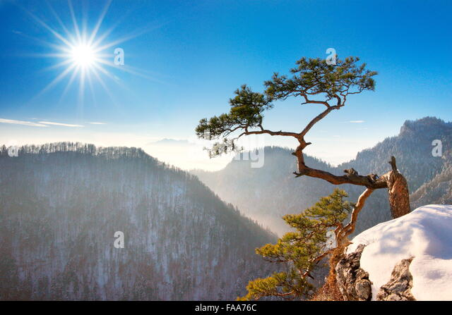 Alone single Pine Tree at Sokolica cliff, Pieniny National Park, Poland - Stock Image
