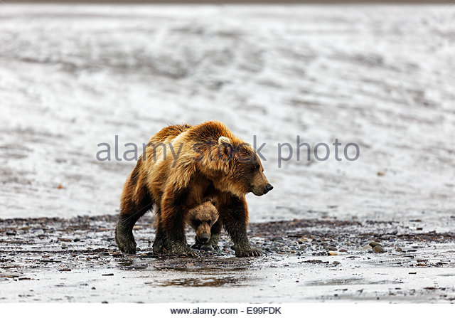 Brown Bear (Grizzly Bear) (Ursus arctos) Adult female and one old cub walking on mud flats in Alaska - Stock Image