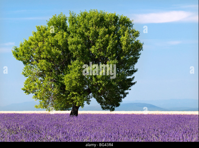 Tree in a lavender field, Valensole plateau, Provence, France - Stock Image