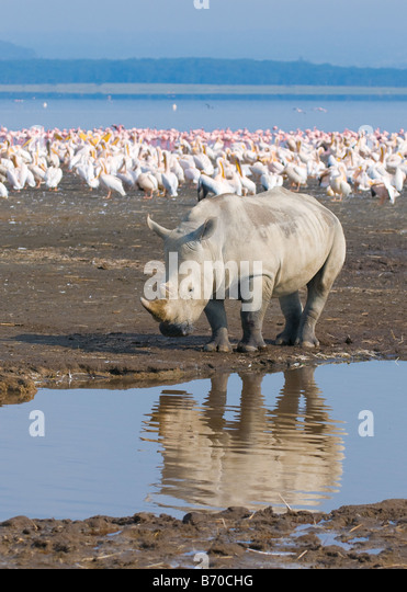 rhino in lake nakuru national park kenya - Stock Image
