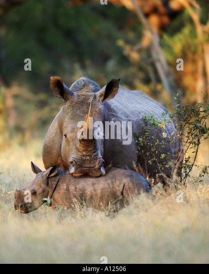 White rhinoceros and young South Africa - Stock-Bilder