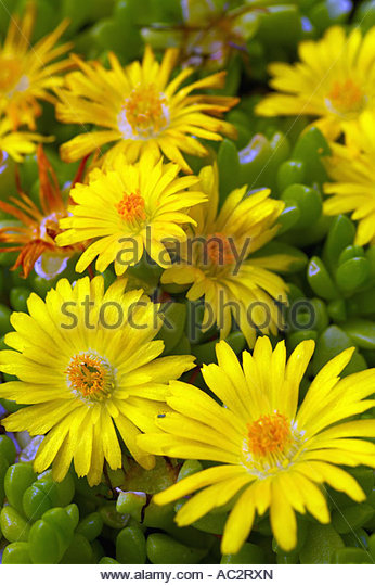 Mesembryanthemum Basutoland - Stock Image