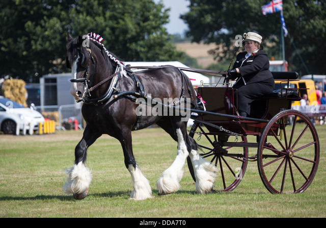 A traditional buggy and shire horse performing at a county show in England - Stock Image