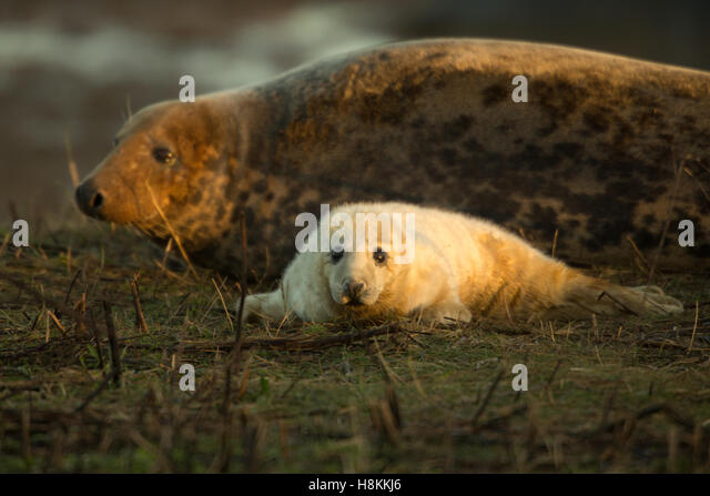 Donna Nook, Lincolnshire. 13th November 2016. A grey seal pup seeks the protection of its mother. One of a few wildlife - Stock Image