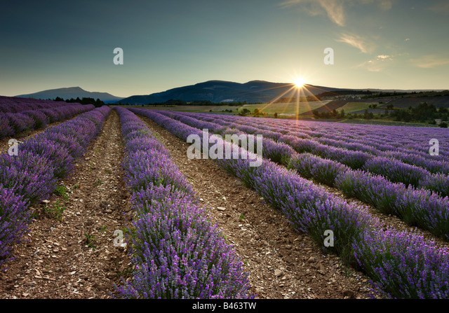 sunrise in a lavender field nr Sault, the Vaucluse, Provence, France - Stock Image
