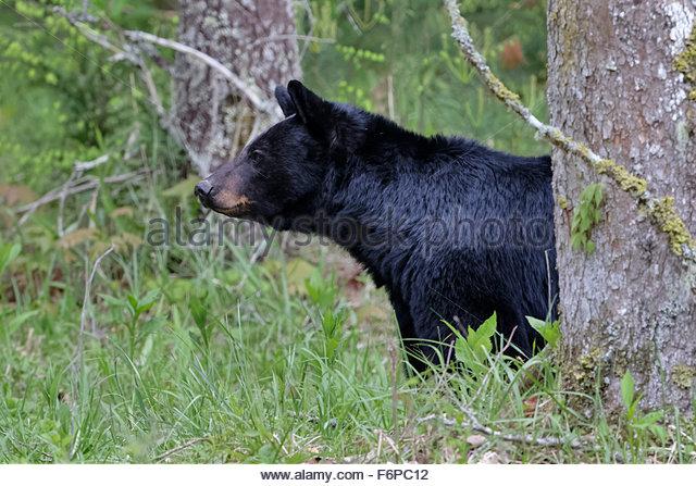 Black Bear, (Ursus americanus) - Stock Image