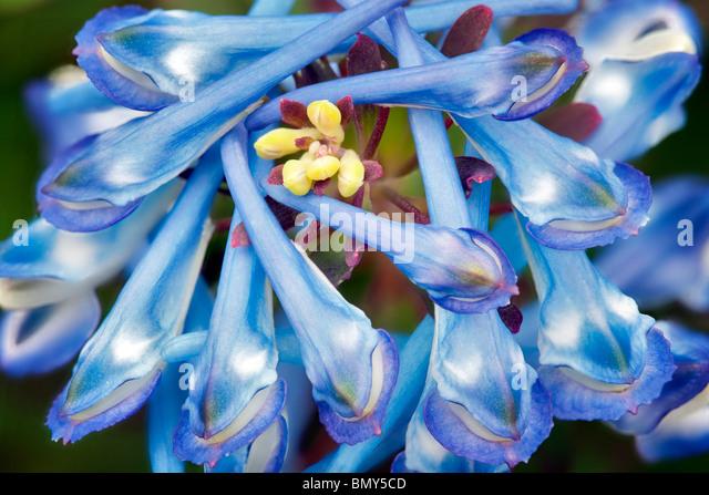 Close up of Purple Leaf Fumaria (Corydalis flexuosa). - Stock Image