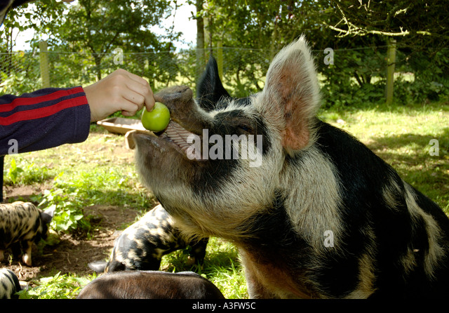 Kune-Kune pig being fed an apple in an English orchard in Cumbria UK - Stock-Bilder