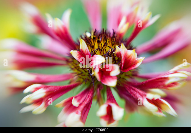 Single Gaillardia 'Pantomime' Blanket flower flowers - Stock Image