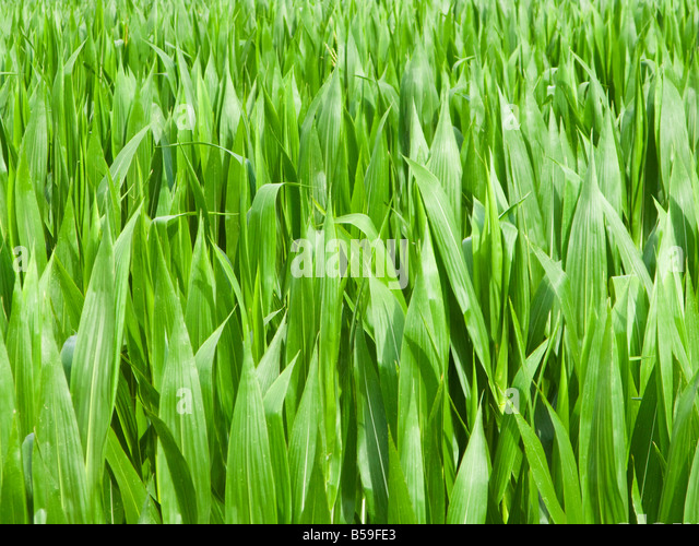 Maize corn close up - Stock Image