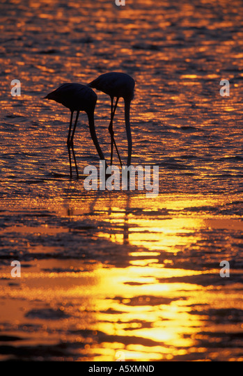 Greater Flamingos feeding at sunset Bahrain Arabian Gulf - Stock Image