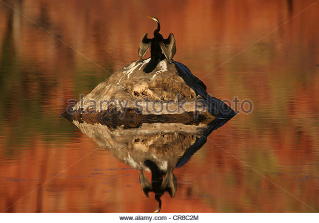 An Australian darter dries its wings in the sun after a dive, Mornington Sanctuary, Western Australia. - Stock Image