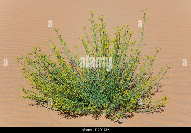 Green plant with tiny little yellow petals in desert sand. - Stock Image