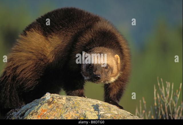 tk0684, Thomas Kitchin; Wolverine in Autumn, Rocky Mountains - Stock Image