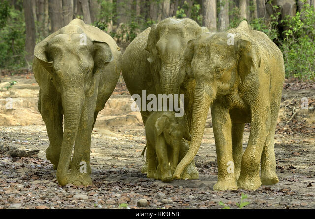Adult cow elephants leading the calf after mud bath on forest tracks,Elephas maximus indica, Corbett N.P, Ramnagar,Uttarkhand,India - Stock-Bilder