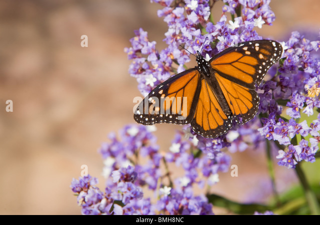 Monarch butterfly on exotic flowers from the Canary Islands. - Stock Image
