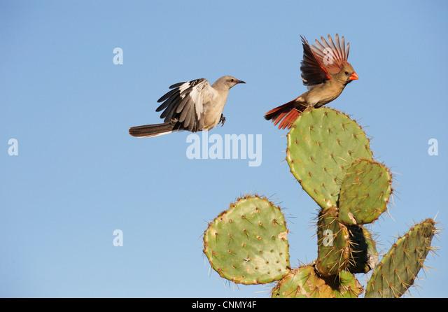 Northern Mockingbird (Mimus polyglottos), adult and Northern Cardinal (Cardinalis cardinalis) landing on Cactus, - Stock Image