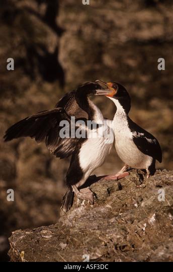 Chatham Island Shag Leucocarbo onslowi Parent feeding large chick Endemic to Chatham Islands New Zealand - Stock Image
