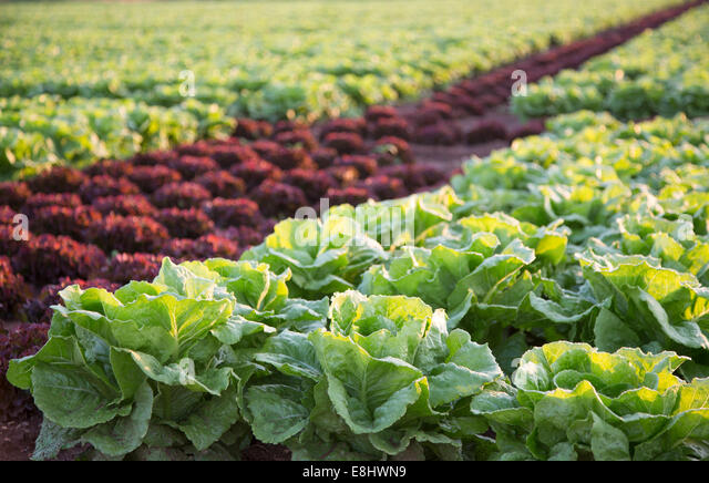 purple and green lettuces growing in field, Mallorca at sunrise - Stock Image