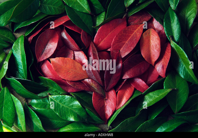 heart made of red and green leafs of Jasmine - Stock Image