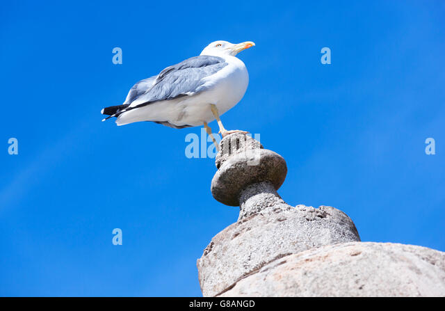 Seagull against clear blue sky. - Stock Image