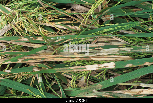 Rice sheath blight Thanatephorus cucumeris lesions on lodged rice crop in ear - Stock Image