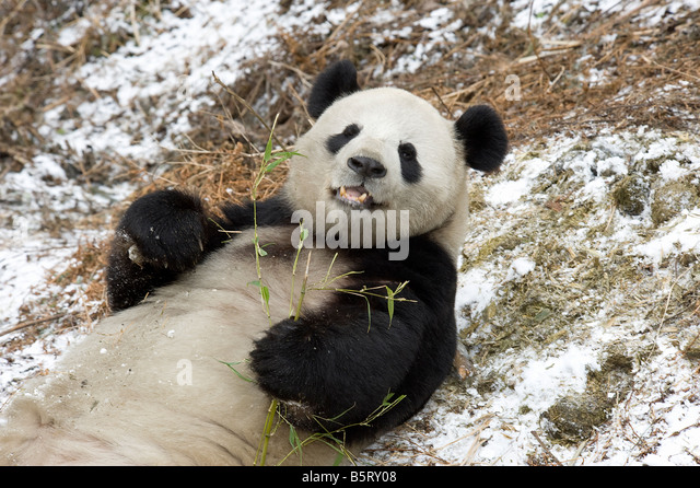Giant panda Ailuropoda melanoleuca lying on snow to feed on bamboo Wolong Sichuan China - Stock Image
