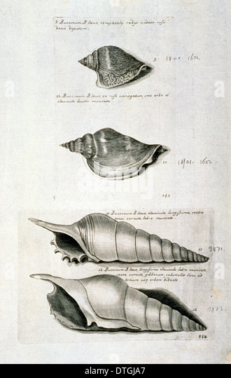 Strombus pugilis, West Indian fighting conch - Stock Image