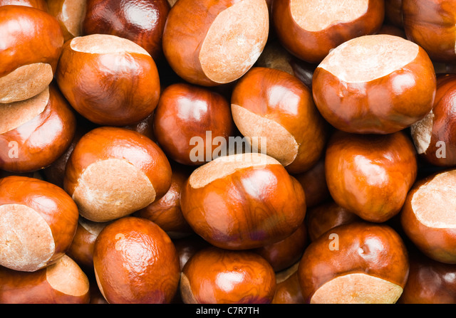 Conkers. Horse chestnut, Aesculus hippocastanum. - Stock Image