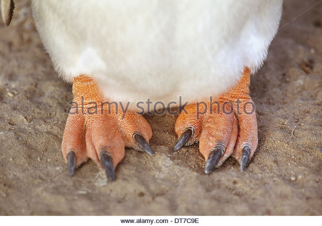 Gentoo penguin feet Pygoscelis papua Antarctica Antarctica - Stock Image