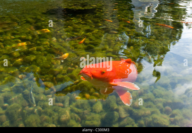 Ornamental fish stock photos ornamental fish stock for Ornamental pond fish for sale