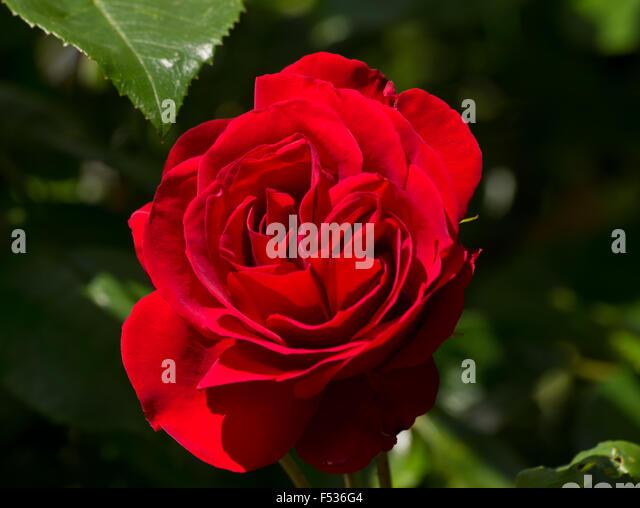 how to grow dublin bay rose