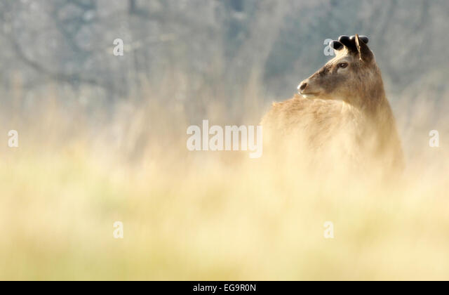 Red deer stag. Richmond Royal Park, London UK - Stock Image
