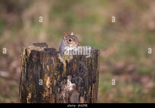 Grey Squirrel Sciurus carolinensis peeping out from behind a tree stump - Stock Image