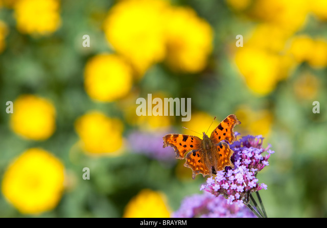 Comma butterfly resting and feeding on Verbena bonariensis with corn marigold in the background - Stock Image