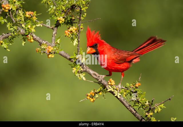Northern CardinalCardinalis cardinalisAmado, Santa Cruz County, Arizona, United States15 May      Adult Male perched - Stock-Bilder