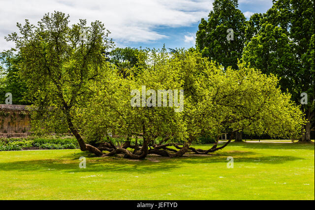 Sprawling tree in the gardens at Cliveden, Buckinghamshire, UK - Stock Image