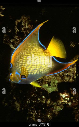 Bonaire Netherlands Antilles underwater marine life queen angelfish beside coral reef - Stock Image