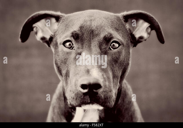 Captivating black and white toned headshot portrait of young black Pitbull puppy dog looking directly into camera - Stock Image