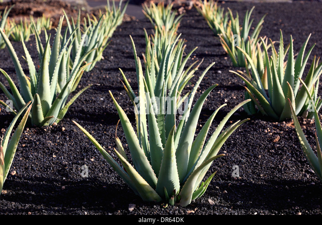 aloe vera plantation stock photos aloe vera plantation stock images alamy. Black Bedroom Furniture Sets. Home Design Ideas
