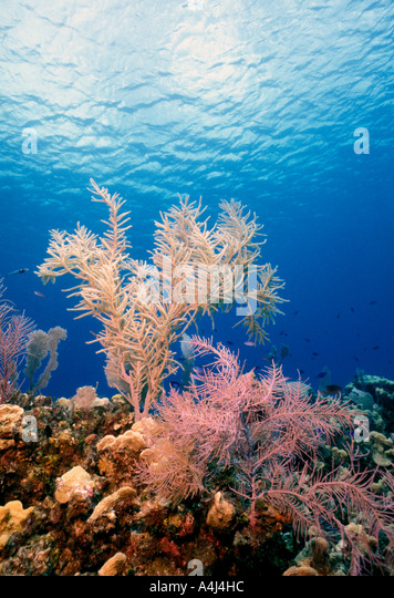 Underwater Coral Reef soft corals with bright colors looking toward clear water surface - Stock Image